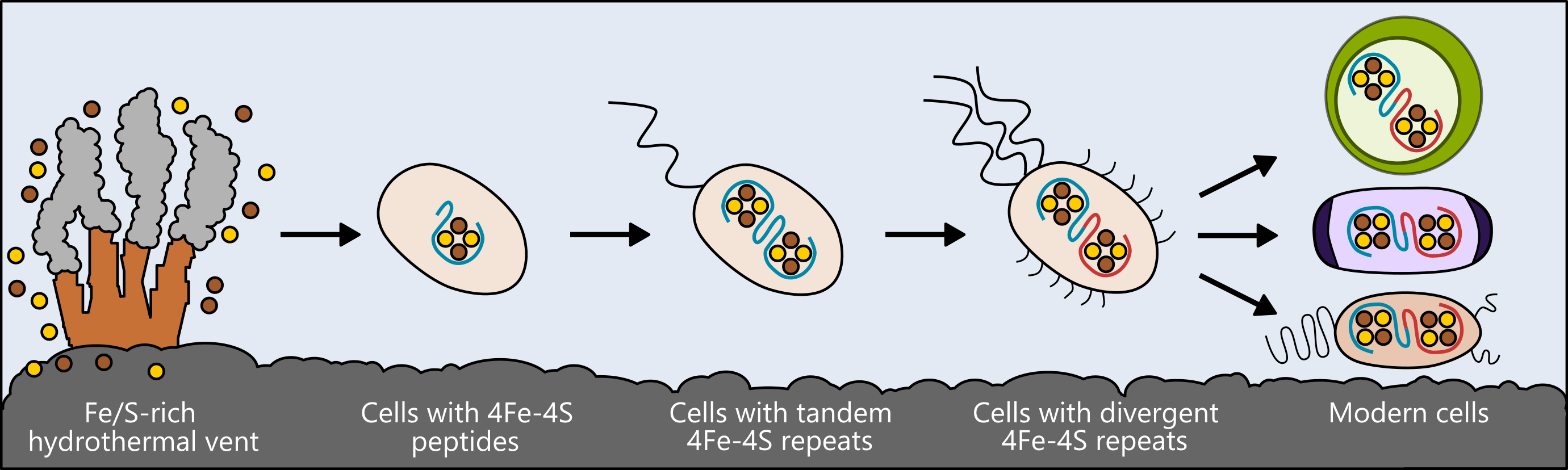 Life may have arisen near hydrothermal vents rich in iron and sulfur. The earliest cells incorporated these elements into small peptides, which became the first and simplest ferredoxins – proteins that shuttle electrons within the cell, to support metabolism. As cells evolved, ferredoxins mutated into more complex forms. The ferredoxins in modern bacteria, plant and animal cells are all derived from that simple ancestor. Credit: Ian Campbell, Rice University Image credit: None