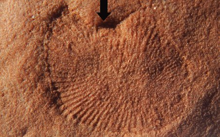 Dickinsonia fossil from Nilpena, South Australia. Black arrow points to lifted portion of the specimen and is pointed in the direction the waves would have moved during the Ediacaran. Credit: Droser L
