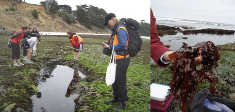 Figure 1. Montara State Marine Reserve, Moss Beach, CA, field trip, 8/2/2015. Site where chlorophyll d (Chl d) was first discovered in 1943. Sampling red algae on which Chl d-utilizing cyanobacteria live as an epiphyte. L: Intern Cameron Hearne explains the project to members of the public; Niki Parenteau in foreground. R: Sample of Erythrophylum delesseroides.