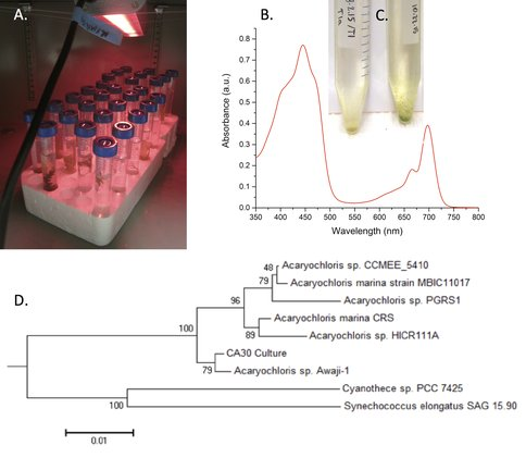 Figure 2. A: Far-red (730 nm) light-emitting diode (LED) cyanobacteria cultures to enrich for and isolate far-red oxygenic phototrophs sampled from red algae. B: HPLC absorbance spectrum identifying Chl d extracted in methanol from cyanobacterial enrichment CA30. C: Some enrichments showing growth of Chl d cyanobacteria. D: Phylogenetic tree of the 16S sequence of enrichment CA30, showing it as closely related to Acaryochloris marina Str. Awaji-1.