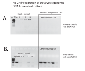 Figure 1. Verification of the enrichment of eukaryotic genomic DNA from bacterial DNA in mixed cultures of environmental from anoxic sediments. Below the purified eukaryotic chromatin of five of 10 are shown: P5, L3A, SW, PL2, and SM. Bacterial specific PCR was used to verify the purification of eukaryotic DNA (A), and eukaryotic-specific PCR verified the purification of eukaryotic chromatin from the mixed total environmental DNA (B) for the five samples shown (boxed).