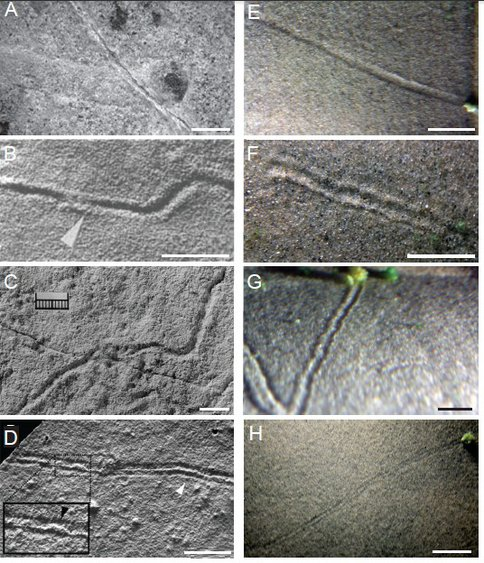 Figure 1. Comparison between trace fossils (A,B,C,D) described in the literature and experimentally created trails (E,F,G,H) produced in experiments of Mariotti et al (in press). Trace fossil images from (A) Mistaken Point Formation, Newfoundland, Canada, 565 Ma (Liu et al. 2010a); (B) Tacuarí Formation in east-central Uruguay, >585 Ma (Pecoits et al. 2012); (C) Suz'ma locale, White Sea region, northern Russia, late Proterozoic (Fedonkin et al. 2007); (D) Puncoviscana Formation, northwest Argentina, early Cambrian (Buatois and Mángano 2003); Wide and shallow single groove (F) formed by compact, spherical aggregates with higher sand content. Narrow single groove with prominent levees (G) and multiple-groove trail (H) formed by irregular, sand-poor aggregates. All scale bars are 1 cm long.