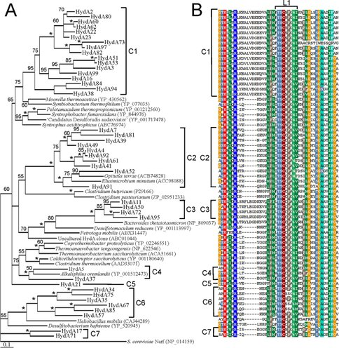 Characteristics and Diversity of HydA ([FeFe]-hydrogenase) Sequences in Guerrero NegroMats
