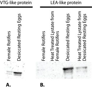 "Figure 6. Western Blots With <span class=""caps"">VTG</span> and <span class=""caps"">LEA</span> Antibodies"