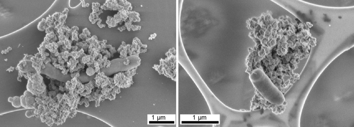 Scanning electron micrographs of anaerobic Fe(II)-oxidizing cultures. From: Schadler et al. (2009) Formation of Cell-Iron-Mineral Aggregates by Phototrophic and Nitrate-Reducing Anaerobic Fe(II)-Oxidizing Bacteria, Geomicrobiology Journal.  Image credit: Reprinted by permission of Taylor & Francis LLC, (http://www.tandfonline.com)