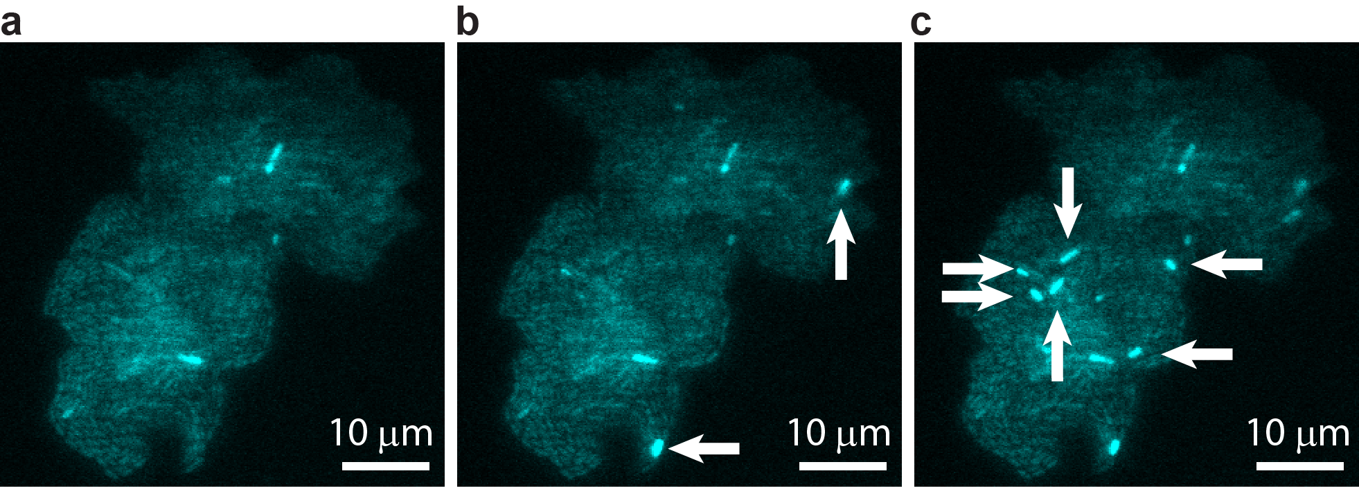 A bacterial colony showing individual cells undergoing transposable element events, resulting in blue fluorescence. Images are shown at (a) t = 0, (b) t = 40 min, and (c) t = 60 min, with arrows indicating newly occurring events in each image. Image courtesy of T.E. Kuhlman, University of Illinois at Urbana-Champaign, reproduced with permission from Proceedings of the National Academy of Sciences USA. Image credit: None