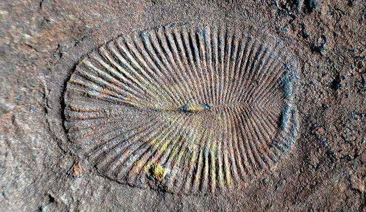 Fossil photo from the Ediacara Biota. Source: James Gehling Image credit: None