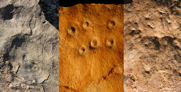 Fossils from Zaris site in Namibia: left, the discs are fossil remains of the holdfast structures that were holdfast structures for an Ediacaran species called aspidella; middle, bumps on the rock surface are the remains of burrows, called conichnus burrows, that were originally inhabited by anemone-like animals that may have fed on Ediacaran larvae; right, odd annulated and ribbon-like fossils that represent mysterious early animals (likely ecosystem engineers) called shaanxilithes. Image credit: Simon Darroch/Vanderbilt Image credit: None