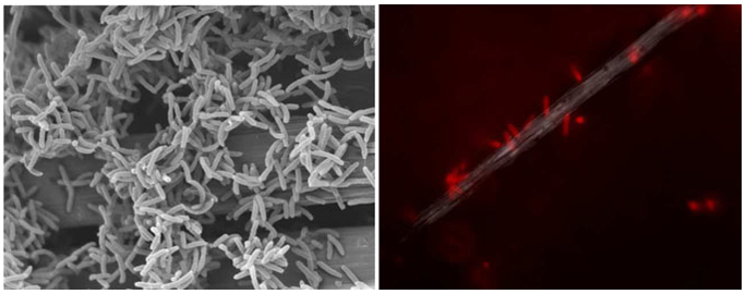 Scanning electron microscopy showing attachment of Delftia sp. WE1-13 on carbon cloth fibers, and in vivo fluorescent image of Delftia sp. WE1-13 cells attached to an electrode during electrochemical analysis. Image source: Y. Jangir and M.Y. El-Naggar (USC). Image credit: None