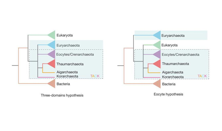 Three-domain model (left). Archaea (blue-shaded box) is divided into different groups, some of which form the TACK supergroup (dashed-line box). On the right is the two-domain, or eocyte, model. In this case, Eukaryota is one branch within Archaea.
