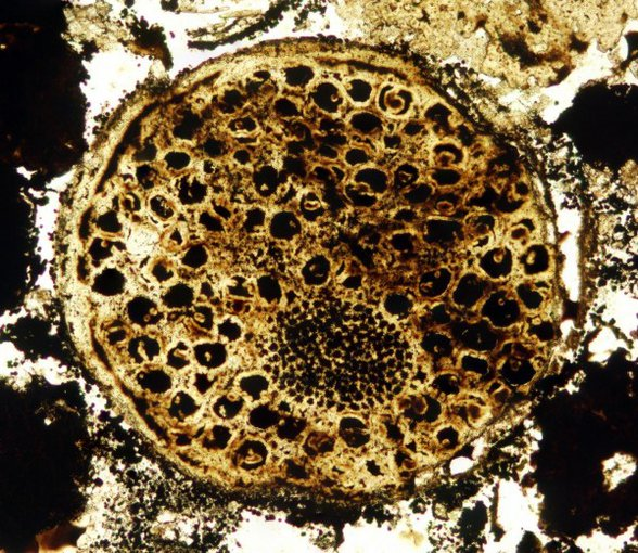 A fossil of a 600 million-year-old multicellular organism displays unexpected evidence of complexity. Credit: Virginia Tech