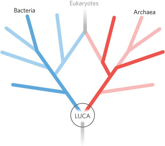 A schematic of the two-domain tree, with eukaryotes evolving from endosymbiosis between members of the two original trunks of the tree, archaea and bacteria.