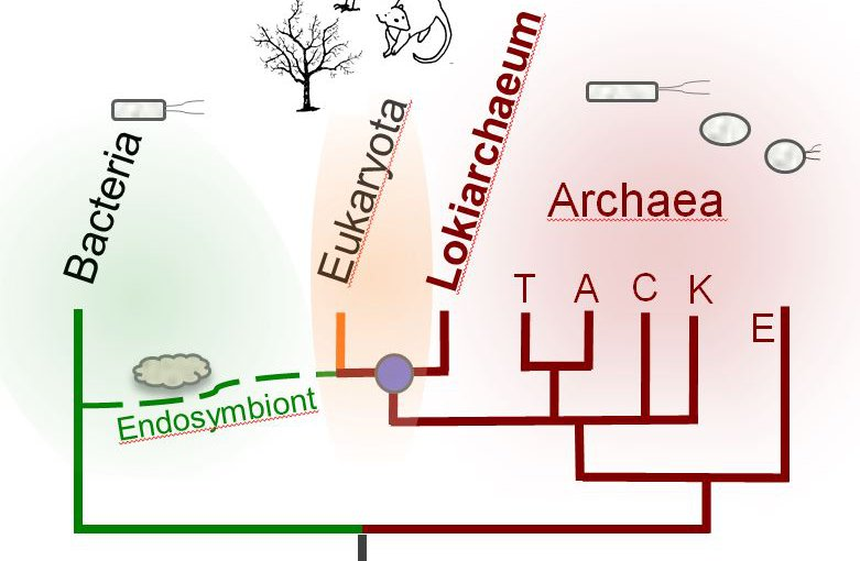 The Lokiarchaea are surprisingly similar to modern eukaryotes, suggesting they share a relatively recent common ancestor. The divergence of Lokiarchaeota and Eukaryota may have coincided with a merger between this common ancestor and a bacteria.