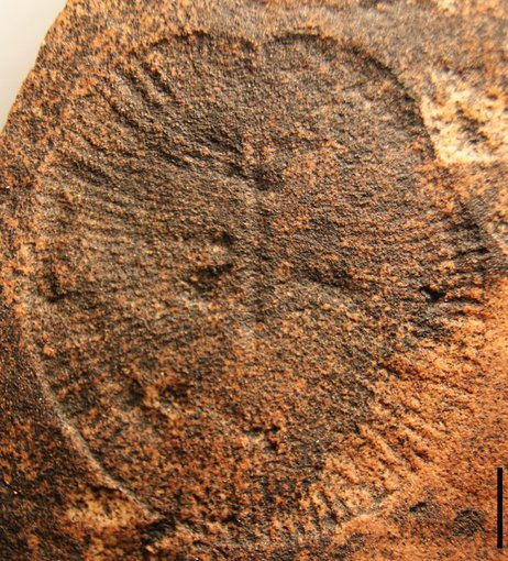 Dickinsonia is a genus of iconic fossils of the Ediacaran biota.