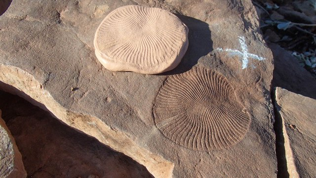Dickinsonia costata, one of the most common species of the Ediacaran period, moved and fed on seafloor microbe mats. This specimen and its silly putty cast are about 6 centimeters across and from the Nilpena Station of South Australia.